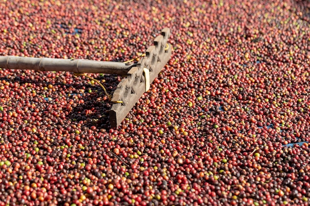 Verse arabica red koffiebonen bessen en droogproces