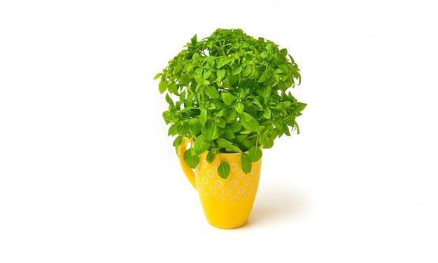 Verse basilicum plant in een gele keramische beker met kopie ruimte