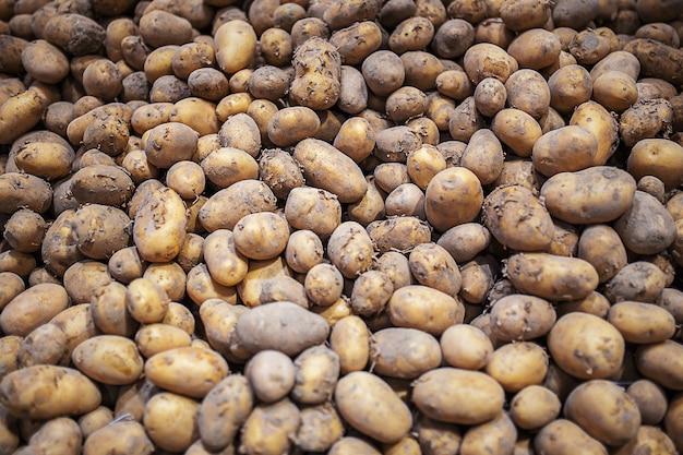 Verse biologische oogstaardappel valt op tussen veel grote achtergrond hoop aardappelwortel
