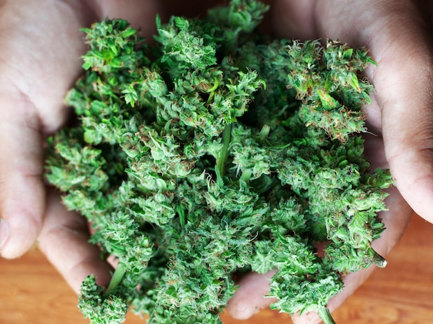 Verse biologische pure cannabis-toppen kweken. hand in hand gemakkelijk recreatieve drug marihuana close-up