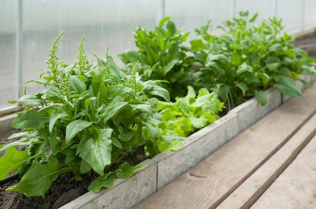 Verse biologische spinazie groeit in een kas.