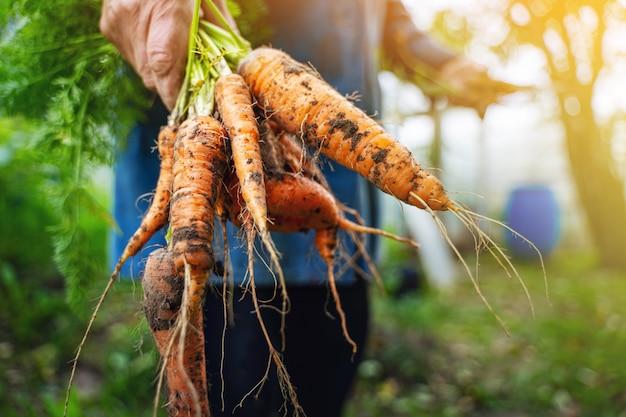 Verse biologische wortelen in handen van boeren. wortelen oogsten. gezond eten.