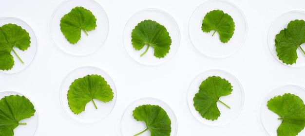 Verse bladeren van gotuola in petrischalen op witte achtergrond.