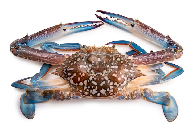Verse blauwe krab die op witte achtergrond wordt geïsoleerd