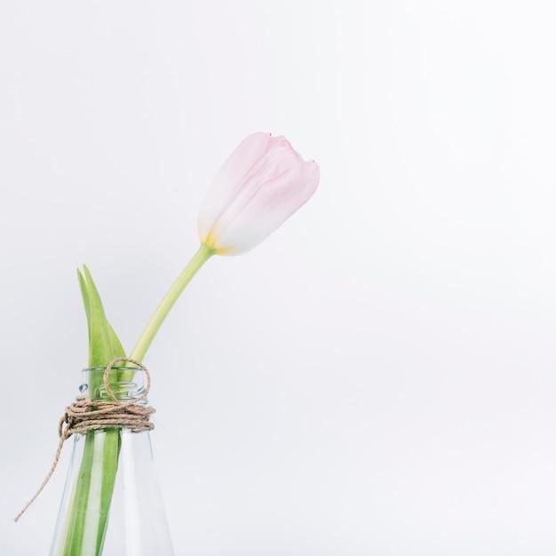 Verse bloeiende tulpenbloem in transparante vaas over witte achtergrond
