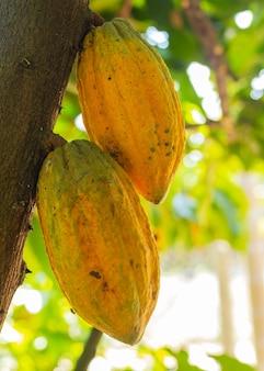 Verse cacao aan de boom in de tuin