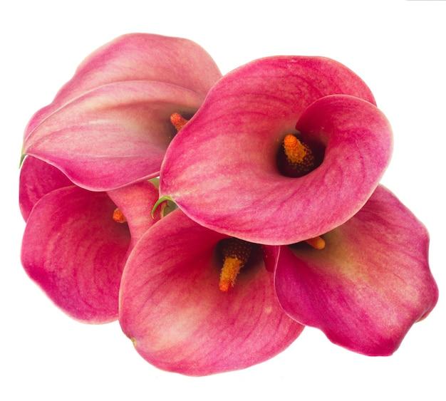 Verse calla lelie bloemen geïsoleerd
