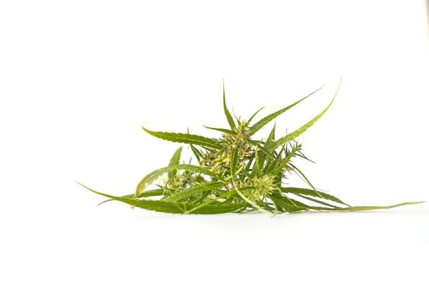 Verse cannabis glower op wit