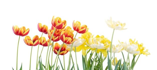 Verse en mooie rode en gele tulpen geïsoleerd op een witte achtergrond, close-up van moederdag lente bloem concept.