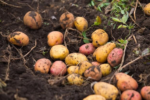 Verse en rauwe aardappel op een veld
