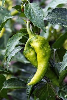 Verse en smakelijke groene paprikapaprika die in huistuin wordt gekweekt. vol vitamines en smaak.