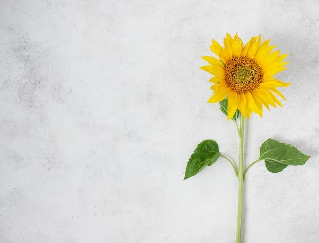 Verse enige gele zonnebloem op witte achtergrond
