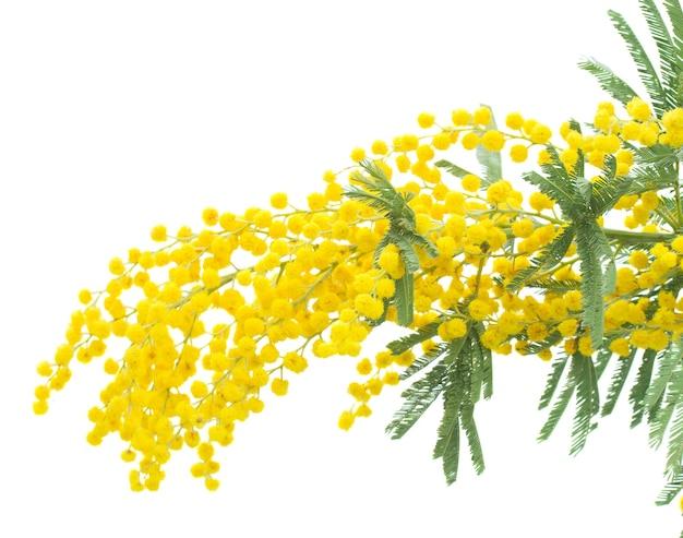 Verse franse mimosa geïsoleerd op een witte muur