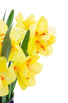 Verse gele narcis lentebloemen close-up geïsoleerd op een witte achtergrond