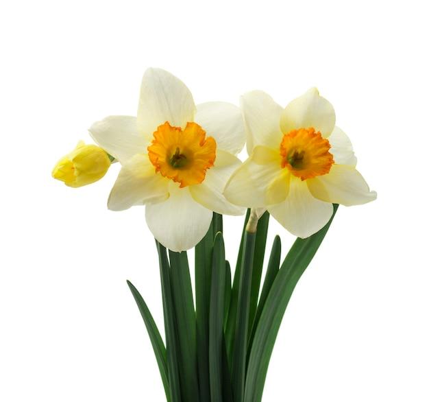 Verse gele narcissen bloemen, geïsoleerd op wit