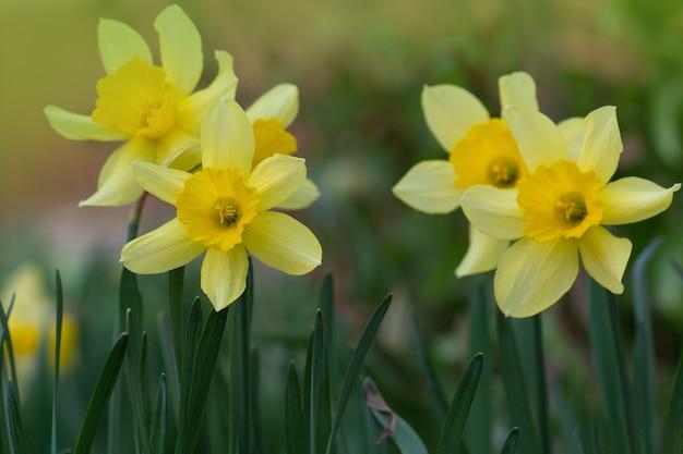 Verse gele narcissen tegen groene achtergrond
