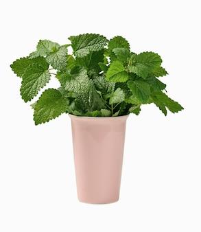 Verse geurige munt in ceramische roze vaas op witte geïsoleerde achtergrond, leaf