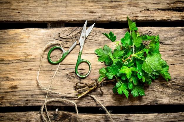 Verse greens met oude schaar. op houten achtergrond.