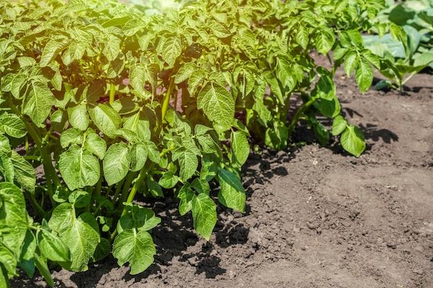 Verse groene aardappelstruiken in de tuin op een zonnige dag.
