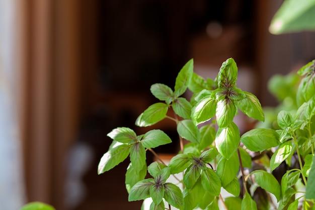 Verse groene basilicum in een pot groeit thuis, op het balkon. groene basilicumblaadjes zijn klaar om te koken. verse kruiden voor het koken van pizza's, salades en ander voedsel