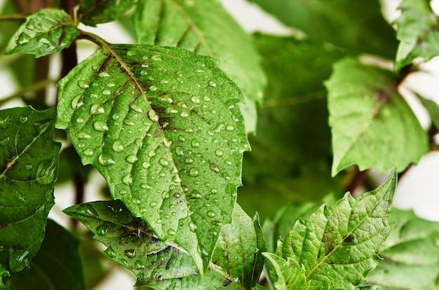 Verse groene bladeren van basilicum met waterdruppels