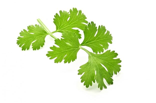 Verse groene bladeren van koriander die op witte oppervlakte wordt geïsoleerd