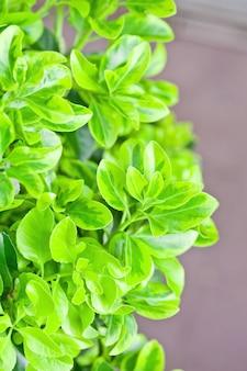Verse groene bladeren