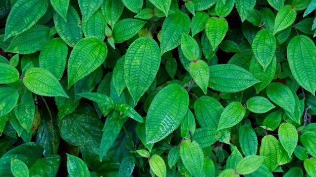 Verse groene bladerentextuur voor aardachtergrond en ontwerp, de achtergrond van de gebladerteaard