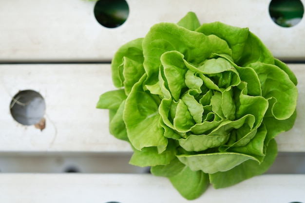 Verse groene boterslagroente of salade in hydroponic landbouwbedrijf