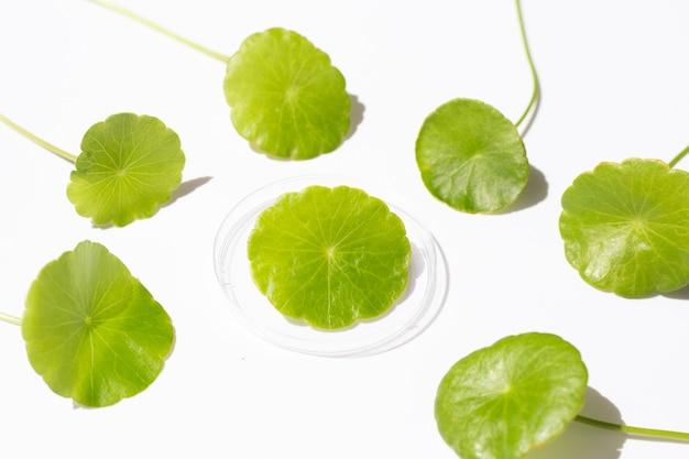 Verse groene centella asiatica bladeren in petrischalen op witte achtergrond.