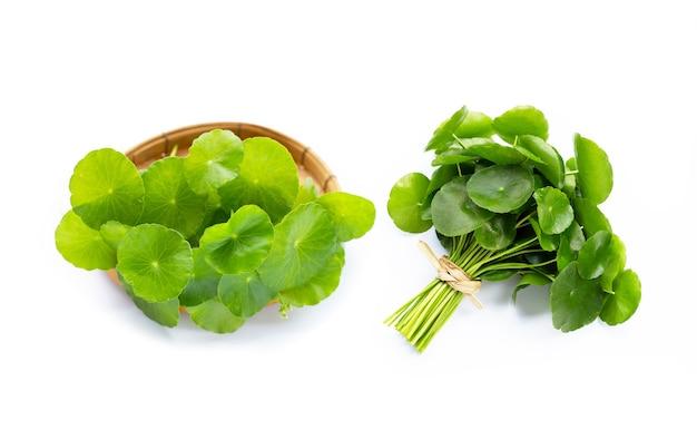 Verse groene centella asiatica bladeren of waternavelplant