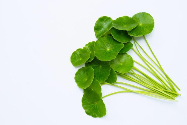 Verse groene centellabladeren of waternavelplant