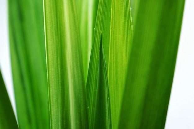 Verse groene de textuurachtergrond van het bladeren tropische pandan blad.