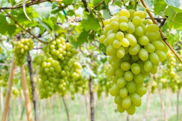 Verse groene druiven aan de boom in een boerderij van thailand