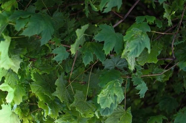 Verse groene esdoornbladeren.