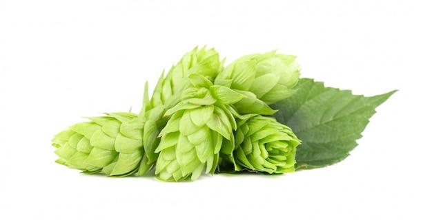 Verse groene geïsoleerde hoptak. hopbellen voor het maken van bier en brood. detailopname.
