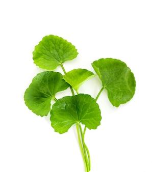 Verse groene gotu-kola, centella asiatica-blad, aziatische pennywort, indische pennywort, een ayurvedisch medisch kruid