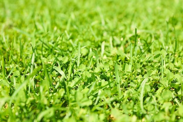 Verse groene grastextuur. natuurlijke achtergrond, close-up