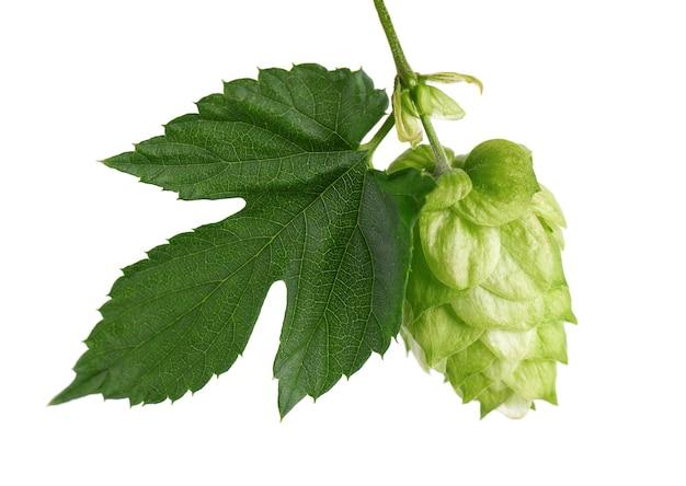 Verse groene hop tak, geïsoleerd op een witte achtergrond. hopbellen met blad. biologische hopbloemen. detailopname.