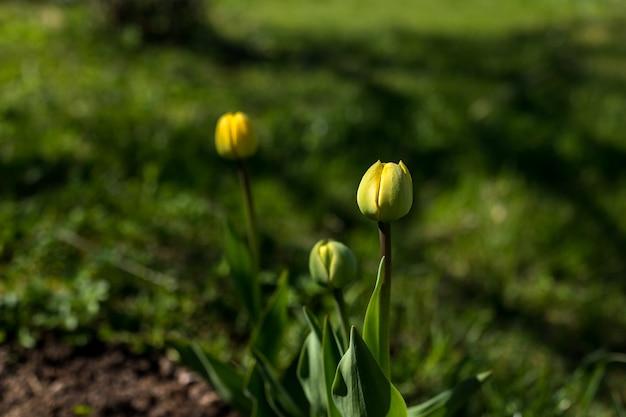 Verse groene knoppen van gele tulpenbloemen onder sappig groen gras in zonlichtstralen. lente bloeiende tulpen. schoonheid van de natuurgroei in de lente. tuinieren van lentebloemen. kopie ruimte