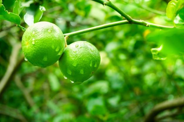 Verse groene limoenen rauwe citroen opknoping op boom met waterdruppel op tuin, limoenen teelt