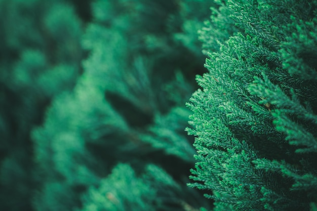 Verse groene pijnboombladeren in het bos