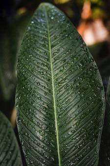Verse groene plumeria- of frangipani-bladeren.