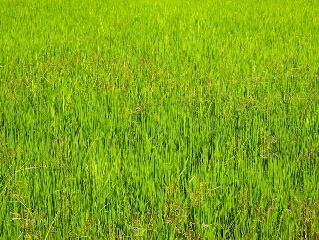 Verse groene rijstveldachtergrond