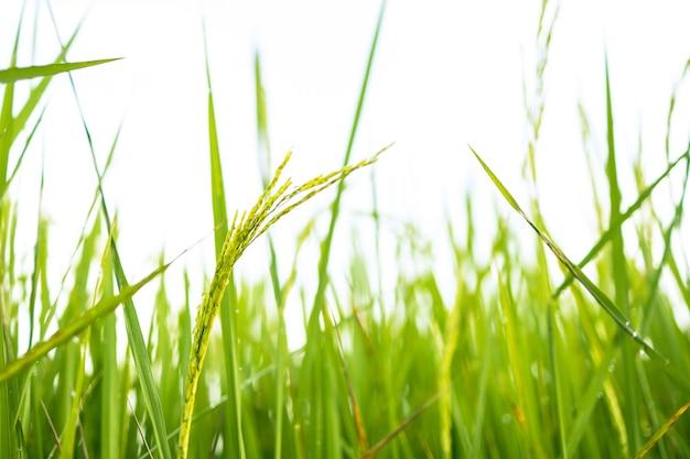 Verse groene rijstvelden in de velden groeien hun korrels op de bladeren met dauwdruppels