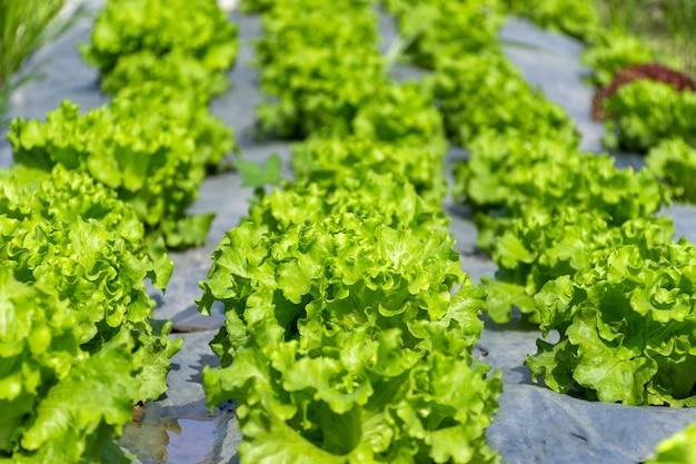Verse groene sla in de biologische groenteboerderij.