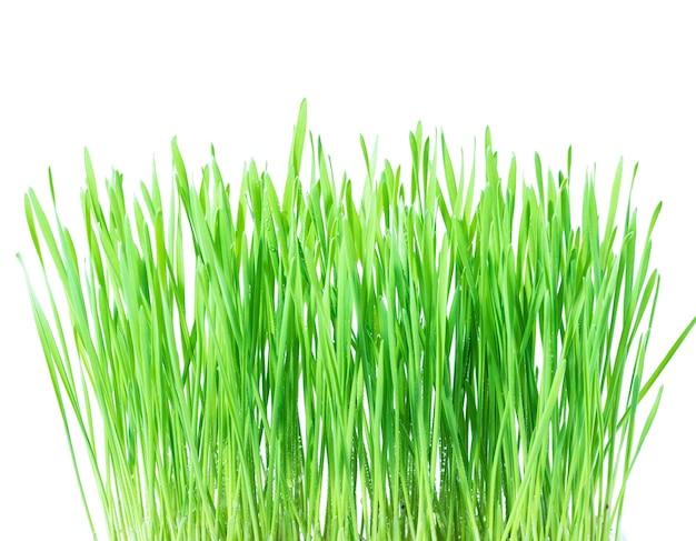 Verse groene tarwe gras met druppels dauw, spruit van tarwe op witte achtergrond