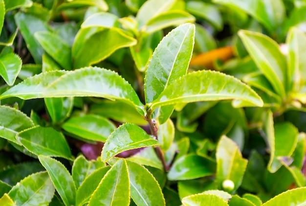 Verse groene theeblaadjes met regendruppels op theeplantage.