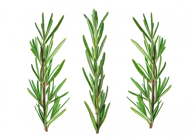 Verse groene twijg van rozemarijn die op wit wordt geïsoleerd