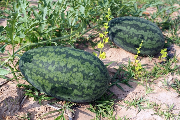 Verse groene watermeloen van rijpe watermeloenen met groene bladeren in een veld